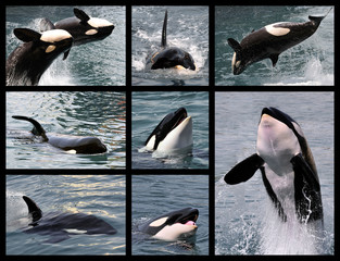 Wall Mural - Eight photos mosaic of killer whales (Orcinus orca)