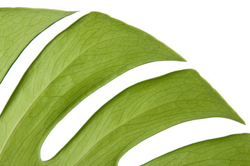 Green leaf of Monstera plant, isolated on white.