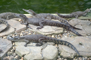 Baby Crocodiles At A Farm