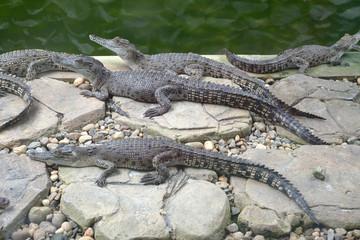Baby Crocodiles At A Farm