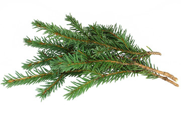 Spruce branches on a white background