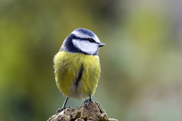 Acrylic Prints Nature blue tit