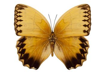 Butterfly species stichophthalma howqua suffusa