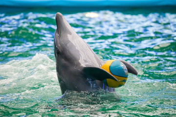 A dolphin in a show in a dolphinarium