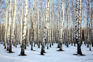 Poster Berkbosje Ray of sunshine in winter birch grove