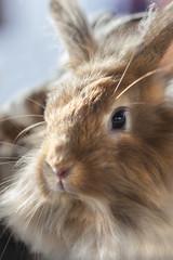 Dwarf rabbit....