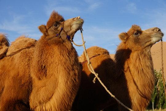 camel from Badain Jaran Desert of Mongolia