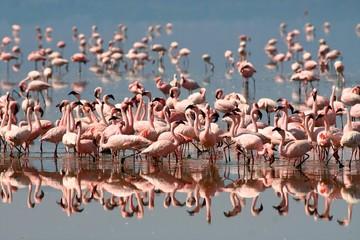 Garden Poster Flamingo Flamingos on Lake Nakuru
