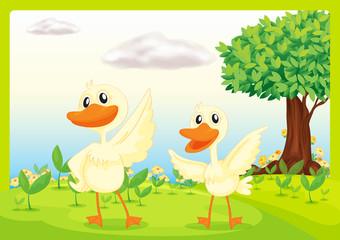 Ducks in nature