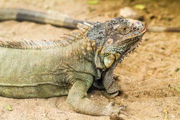 Iguana lizard stand still on ground