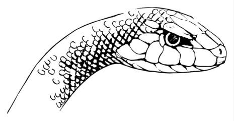 Oxyupanus microlepidotus illustration