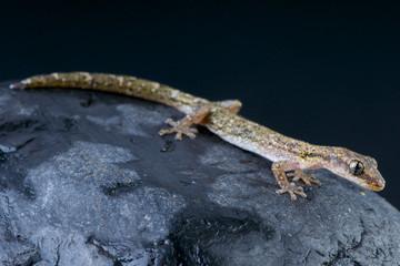 Wall Mural - Salamander gecko / Matoatoa brevipes