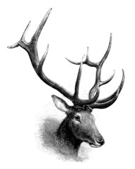 Wapiti Deer : Head