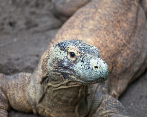 Huge monitor lizard