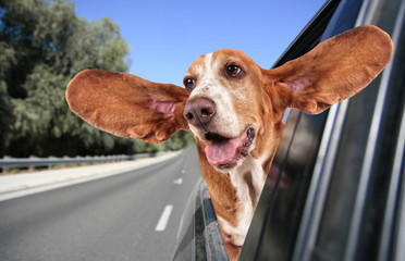 a basset hound in a car