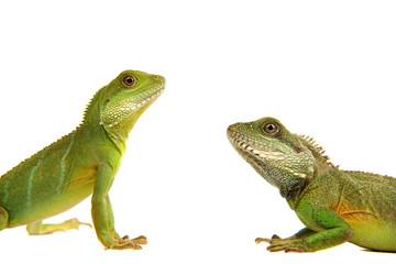 Wasseragamen, Leguan, Eidechse, Reptil