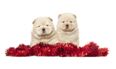 Wall Mural - chow-chow puppies
