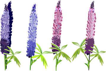 illustration with lupine flowers isolated on white