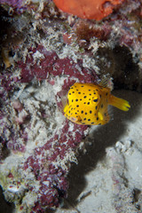Small yellow box fish in Raja Ampat Papua, Indonesia