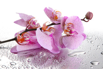 pink beautiful orchids with drops