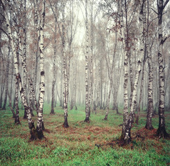 Aluminium Prints Birch Grove Birch trees in the fog