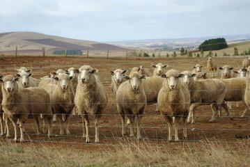 Australian sheep on outback farm land