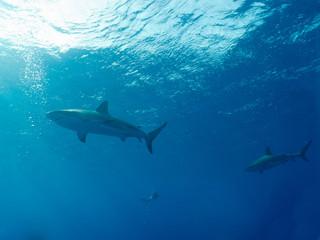 Photo sur Aluminium Dauphins Caribbean reef sharks (Carcharhinus perezi)