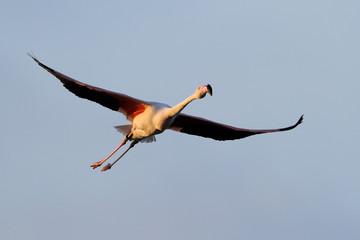 Greater Flamingo flying against blue sky.