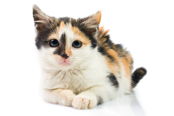 Three-colored kitty