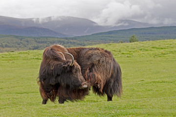 a yak in it`s natural habitat