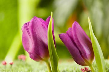 2 lila Tulpen