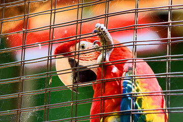 Caged Scarlet Macaw in HD