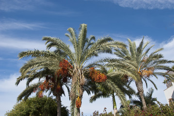 Date Palm Trees under a blue sky