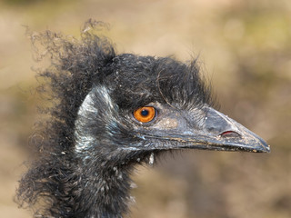 Detail of head of emu ostrich
