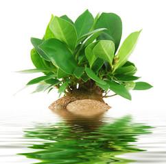 ficus bonsai riflesso in acqua