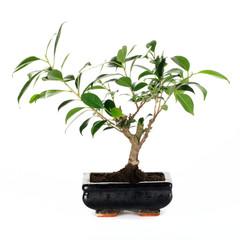 Bonai Ficus benjamina
