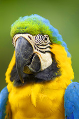 Parrot Macaw in the wild
