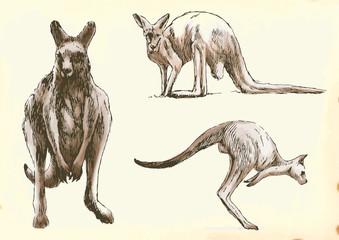 Collection, three studies kangaroo in motion.