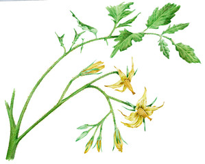 Lycopersicum esculentum - pomodoro fiori