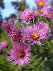 Wild chysanthemums