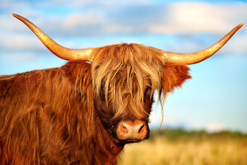 scottish highland cow Wall mural