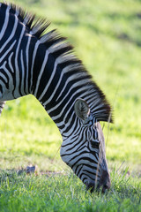 Wall Mural - Zebra Grazing on grass