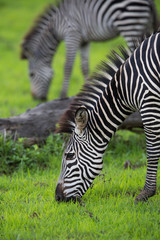 Wall Mural - Zebra grazing