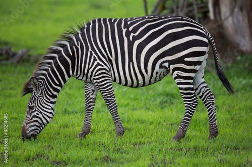 Wall mural Zebra grazing