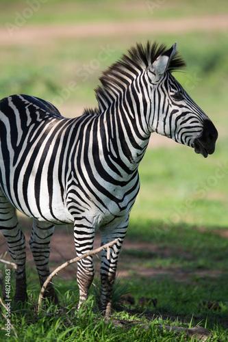 Wall mural Zebra on savannah