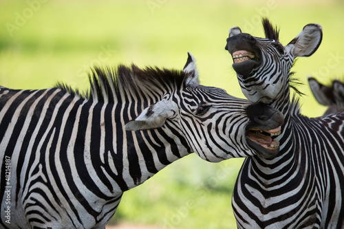 Wall mural Zebras with mouths open