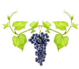 Blue wine grape (element of ornament) isolated on white