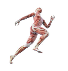 Sport anatomy - runner
