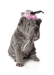 Portrait of funny sharpei puppy dog