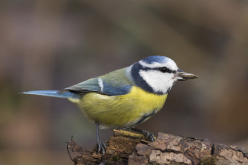 Wall Mural - blue tit